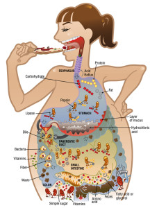 digestion-illustration_acs